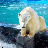 Медведица Комета в ростовском зоопарке (за стеклом) :: Нина Бутко