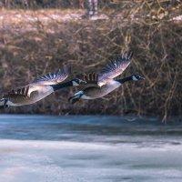 Парочка канадских гусей :: Игорь Геттингер (Igor Hettinger)