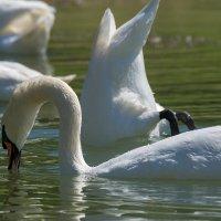 Лебеди :: Игорь Сикорский