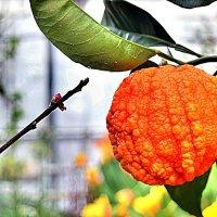 Сanaliculata - горький апельсин, несъедобен, выращивают в декоративных целях. :: Татьяна Помогалова