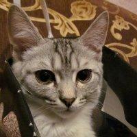 Кот в сумочке № 3 :: OLLES