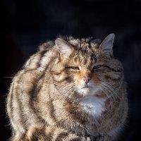 Лесной кот :: Владимир Габов