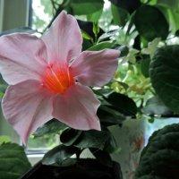 Розовый цветочек :: ivolga