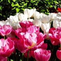 Тюльпаны. :: Иван