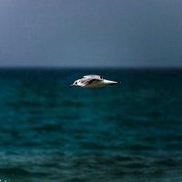 Одинокая чайка :: Александр Альтшулер