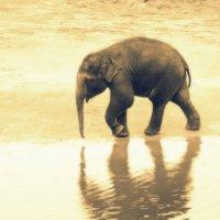Одиноко слонёнок бредёт :: Alexander Andronik