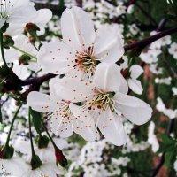 Когда сады цветут! :: Aleks Ben Israel