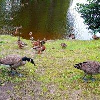 Канадские казарки и утки. :: Лия ☼