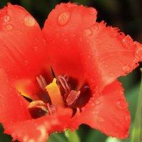 Красный тюльпан :: Lеsя Sеmейкинa