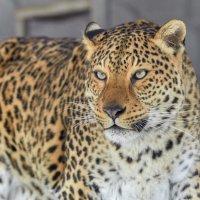 Leopard :: олег