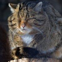 Европейский лесной кот :: Владимир Шадрин