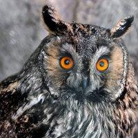 Ушастая сова :: олег