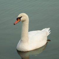 Белый лебедь :: Ирина Via