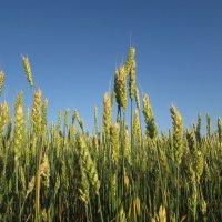 Колосья пшеницы :: Светлана