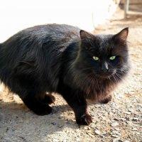 Говорят, не повезёт, если чёрный кот дорогу перейдёт..:) :: Андрей Заломленков