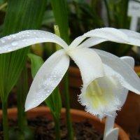 Орхидея Плейоне :: Татьяна Георгиевна