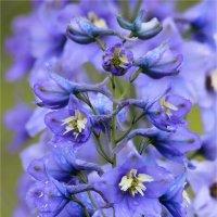Дельфиниум нежно голубого цвета :: Нина Кутина