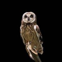 Болотная сова :: Владимир Шадрин