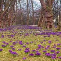 Крокусы в старом парке :: Игорь Геттингер (Igor Hettinger)