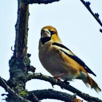 Дубонос птица. :: vodonos241