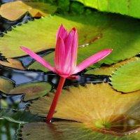 Тропическая водяная лилия :: Aida10