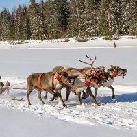 Гонки на оленьих упряжках :: Дмитрий Сиялов