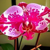 улыбка орхидеи :: Александр Корчемный