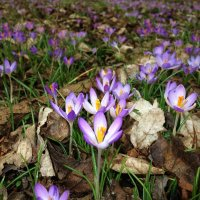 Украшение весеннего леса!... :: Galina Dzubina