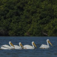 Американский белый пеликан :: Василий Дудин