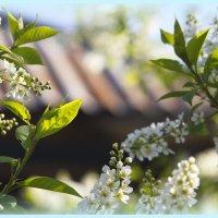 черёмуха в цвету :: Лилия Еськина