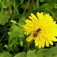 Солнышко и пчелка :: Светлана
