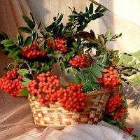 Вспыхнули гроздья осенней рябины :: Лидия Бараблина