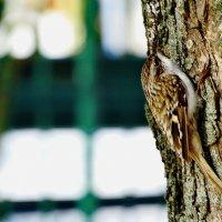Обыкновенная пищуха (лат. Certhia familiaris). :: vodonos241