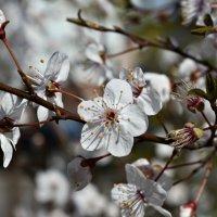В белизне уйма оттенков. Счастье, как и весна, каждый раз меняет свой облик. :: ...Настя ...