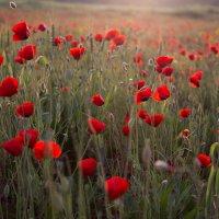 просто цветы в поле :: Валерий Цингауз