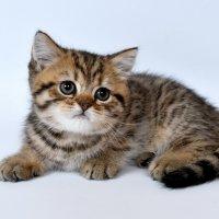 Шотландский котенок :: Сергей Сёмин