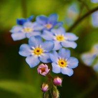 Цветики земные :: Валентина Пирогова
