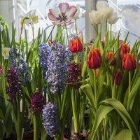 На моем окне весна! :: Ольга Дядченко