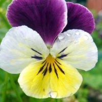 Капельки дождя на цветке :: Юлия Ошуркова