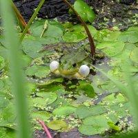 Самец прудовой лягушки с резонаторами :: Людмила Василькова