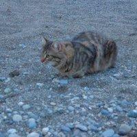 """Кот на пляже """"АЛЬБАТРОС""""_СОЧИ_ :: АНДРЕЙ ШЕВЧЕНКО"""