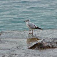 """Чайка на пляже """"АЛЬБАТРОС""""_СОЧИ_ :: АНДРЕЙ ШЕВЧЕНКО"""