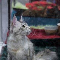"""Выставка кошек """"Кэт-Салон-Март"""" в Сокольниках 17.03.2018 :: Игорь Герман"""
