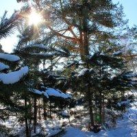Сосны в солнце :: Катя Бокова