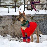 Dog in red :: Олег Шендерюк