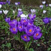 """""""Там, где крокусы цветут, Радостно и ярко.."""" :: Galina Dzubina"""