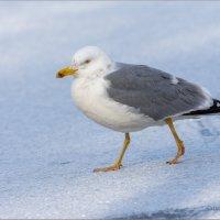 Серебристая чайка :: Анна Солисия Голубева