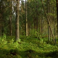 Вечером в лесу :: Светлана Z.