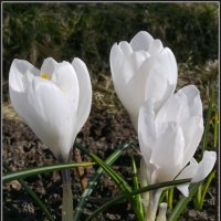 Белоснежные крокусы :: lady v.ekaterina