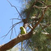Попугай драра :: Герович Лилия